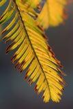 Feuilles des arbres de Metasequoia Image libre de droits