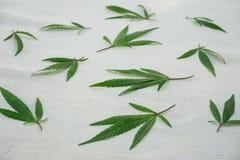 Feuilles des cannabis sur la toile de hamp Plan rapproché photo stock