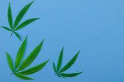 Feuilles des cannabis sur un fond bleu, vue supérieure, l'espace libre Photo stock