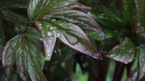 Feuilles des fleurs avec des gouttes de pluie clips vidéos