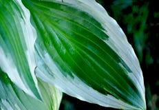 feuilles des hostas Images stock