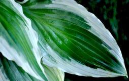 feuilles des hostas Photos stock
