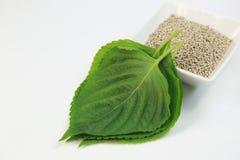 Feuilles des ocimoides de Perilla Photo stock