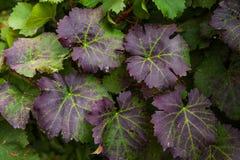 Feuilles des raisins dans le plan rapproché d'automne photos libres de droits