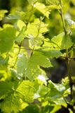 Feuilles des vignes Image libre de droits