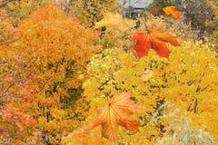 Feuilles en baisse d'érable jaune rouge au-dessus du parc sur le fond d'arbre Images stock