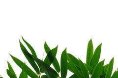 Feuilles en bambou avec des branches sur le fond d'isolement blanc pour le contexte vert de feuillage images libres de droits