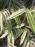 Feuilles en bambou blanches et label vert Photographie stock libre de droits