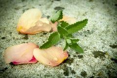 feuilles en bon état avec les pétales de rose, baisse de rosée Photo stock
