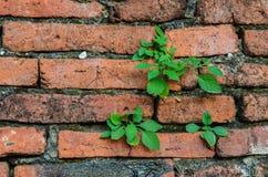 Feuilles en bon état vertes sur le mur de briques Photo stock