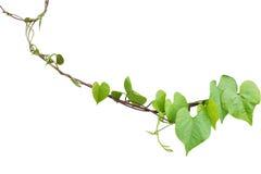 Feuilles en forme de coeur de verdure de l'Ipomoea obscur o de gloire de matin Images libres de droits