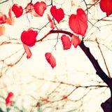 Feuilles en forme de coeur rouges Image stock