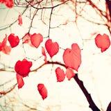 Feuilles en forme de coeur rouges Photos libres de droits