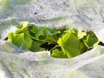 Feuilles en plastique de paillis et de concombre Photo libre de droits