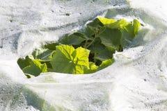 Feuilles en plastique de paillis et de concombre Photographie stock libre de droits