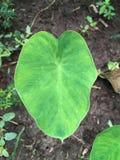 Feuilles esculenta de colocasia frais Images stock