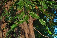 Feuilles espagnoles d'arbre de sapin Images stock