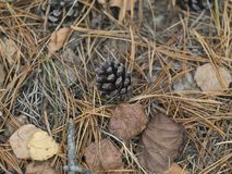 Feuilles et aiguilles sur le plancher de forêt pendant l'automne images libres de droits