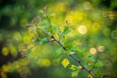 feuilles et bokeh de ressort Image stock