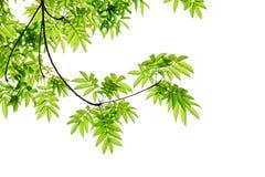 Feuilles et branche de vert Image libre de droits