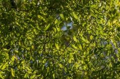 Feuilles et branches de enroulement gracieuses de Salix Matsudana de saule ou de saule chinois photos libres de droits