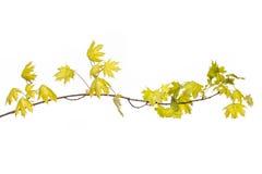 Feuilles et branches de vert sur le fond blanc pour la terre abstraite d'amour de nature d'environnement de texture Photo stock