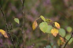 Feuilles et brindilles du bouleau duveteux (pubescens de bétula) Images stock