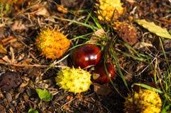 feuilles et châtaignes d'automne au sol Photographie stock libre de droits