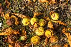 feuilles et châtaignes d'automne au sol Image libre de droits