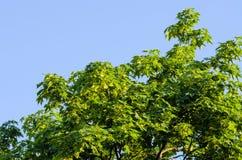 Feuilles et fleur vertes d'érable photographie stock