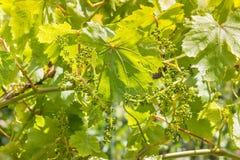 Feuilles et fleurs de vigne dans le vignoble dans le printemps Photos stock