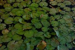 Feuilles et fleurs des nénuphars dans un étang photographie stock libre de droits