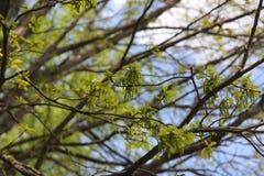 Feuilles et fleurs fraîches de chêne Image libre de droits