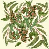 Feuilles et fruits d'eucalyptus Photos stock