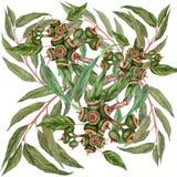 Feuilles et fruits d'eucalyptus Photos libres de droits