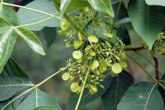 Feuilles et fruits de trifoliata de Ptelea Photographie stock