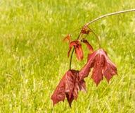 Feuilles et graines cramoisies de rouge du Roi Maple Tree Photo stock
