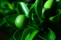 Feuilles et oranges de vert Photographie stock