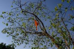 Feuilles et tronc d'une figue sacrée Religiosum d'alerte de religiosa de ficus indigène au sous-continent indien, on le connaît é photos libres de droits