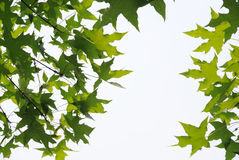 Feuilles fraîches d'arbres plats photos libres de droits