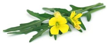 Feuilles fraîches d'arugula ou de rucola avec la fleur Photo libre de droits