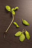 Feuilles fraîches de basilic Image stock