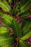 Feuilles fraîches de mangue Photo libre de droits