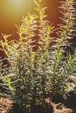 Feuilles fraîches de romarin de foyer sélectif Lumière du soleil la Floride organique fraîche Photographie stock libre de droits