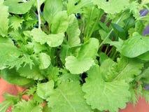 Feuilles fraîches de salade s'élevant dans un pot Image libre de droits
