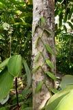 Feuilles fraîches de vanille sur l'arbre Photo stock