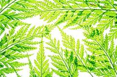 Feuilles fraîches de vert de plan rapproché d'isolement sur le fond blanc Photos libres de droits