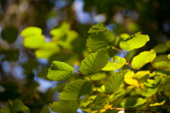 Feuilles fraîches de vert sur un arbre de hêtre image stock