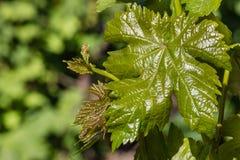 Feuilles fraîches de vigne s'élevant dans le vignoble Image stock
