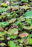 Feuilles fraîches et fanées dans le domaine de ferme de lotus Photos stock